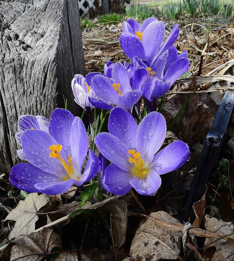 Crocus by Denton Thaves - Flowers Flower Gardens ( spring colorful flowers, spring )