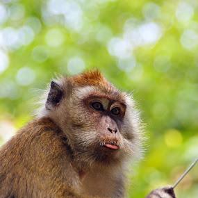monyet by aRie Fitri - Novices Only Wildlife ( wild, ape, beruk, malaysia, monyet, politik, ahli, monkey, animal )