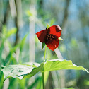 Southern Red Trillium