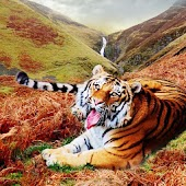Cool Tigers Wallpapers