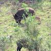 Wild boar, jabalí