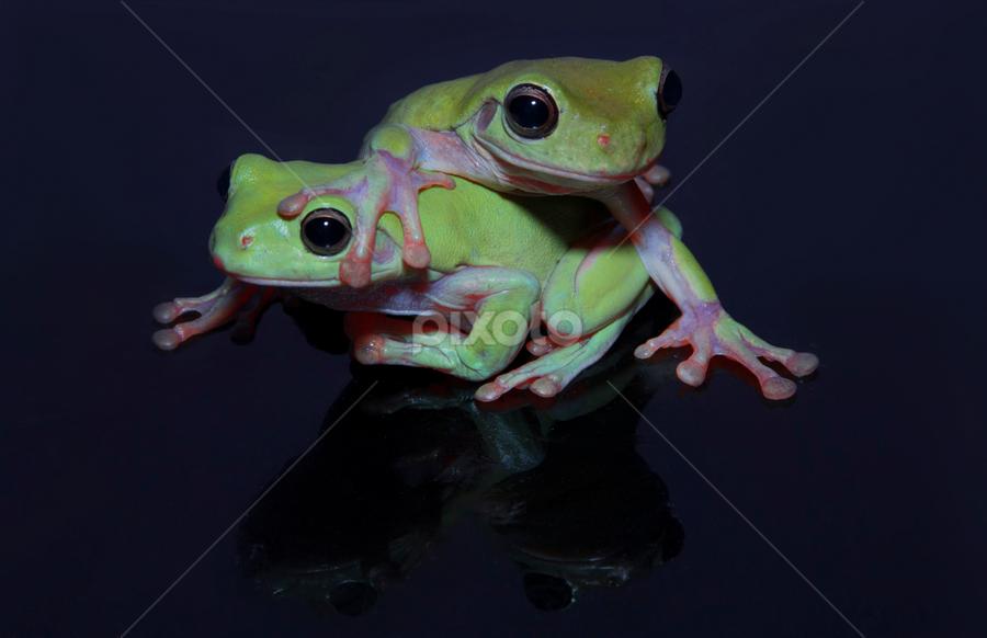 Green Tree Frog.. by Ubayoedin As Syam - Animals Amphibians