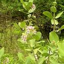 Rui (Giant milkweed)