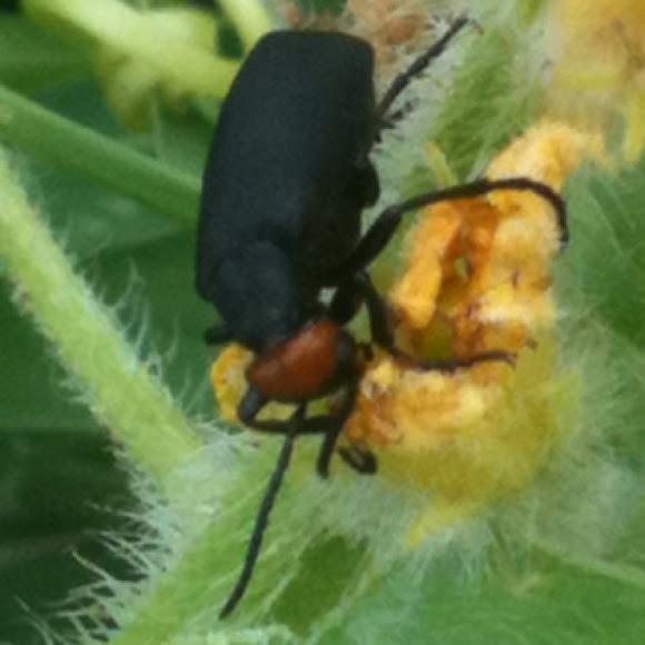 Desert Blister Beetle | Project Noah