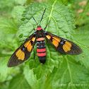 Painted Handmaiden Moth