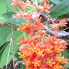 Mexican Butterfly Weed or Orange Milkweed