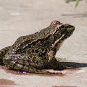 Perez,s frog