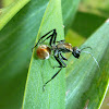 Golden-tailed Spiny Ant