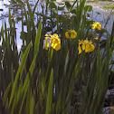 Yellowflag Iris