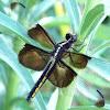 Widow Skimmer (female)