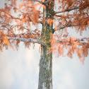 Bald-Cypress Bonsai