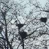 Carrion Crow(Gralha-preta)