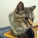 Tabby house cat