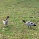 Australian Wood Duck