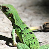 Mexican Spiny-tailed Iguana (juvenile)