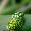 Green Tortoise Beetle Mating