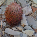Johnson's Fishhook Cactus