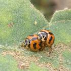 6-Spotted Zigzag Ladybird Beetle