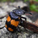 Boreal Carrion Beetle