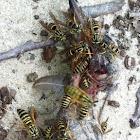 Yellow jacket, wasp,