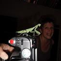 Philippine Mantis