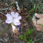 Roserush  or  Rushweed