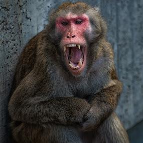 Agression by Johannes Oehl - Animals Other Mammals ( macaca fuscata, wilhelma, zoo, blutbrustpavian, japanmakak, stuttgart, germany, botanical garden,  )