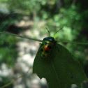 Shield Bug or Jewel Bug