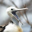 galapagos great frigatebird fledgling