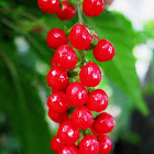 Bloodberry