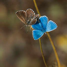 courting adonis by Annette Flottwell - Animals Insects & Spiders ( butterfly, polyommatus bellargus, dismorphism, adonis blue, insect, mating,  )