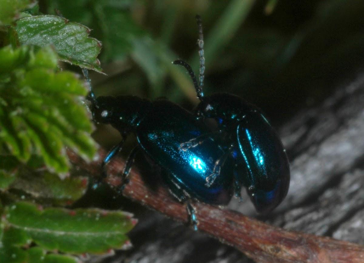 Metallic blue flea beetle