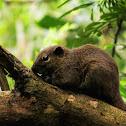 Black-striped Squirrel