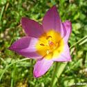 Baker's Tulip