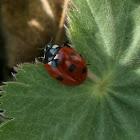 Seven-spotted Ladybug /Zevenstippelig lieveheersbeestje