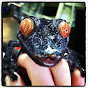 Giant Leaf-Tail Gecko