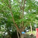 Pokok Balik Angin
