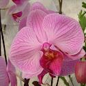 Moth Orchid / Phaelonopsis hybrid