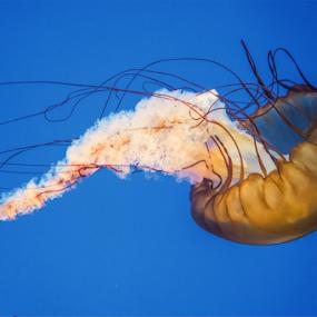 Jello Fish by Fahad Iqbal - Animals Sea Creatures ( nature, sea creature, blue, fish, aqua, jelly fish )