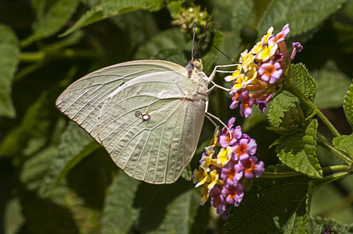 Oriental Lemon Emigrant