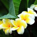 Frangipani (雞蛋花 [變種雞蛋花] )