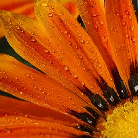 sunkissed by Bharat Dudeja - Flowers Single Flower ( macro, gazania, aster, daisy, flower, droplets,  )