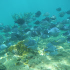 Atlantic blue tang surgeonfish