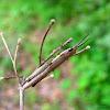 brown grass hopper