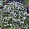 false pixie cup lichen