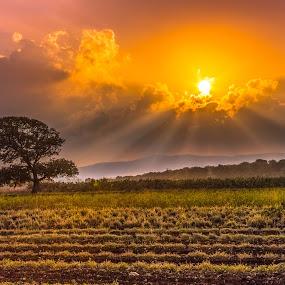 Standing tall by Assi Dvilanski - Landscapes Sunsets & Sunrises ( field, clouds, nature, tree, sunset, sunrays, landscape photography, trees, landscape )