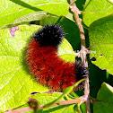 Banded Woolly Bear Caterpillar