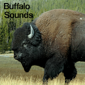 Buffalo Sounds