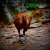 Sri lanka jungle fowl