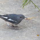 Oriental Magpie Robin (female) with katydid